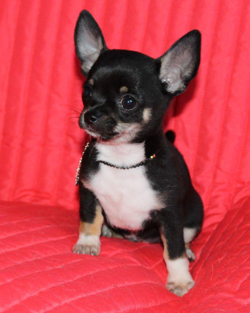 Orus - Chihuahua