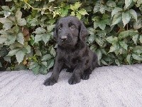 Chiots Flat Coated Retriever
