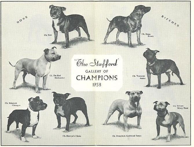 Comportement Staffie accueil - elevage massalias - eleveur de chiens staffordshire bull