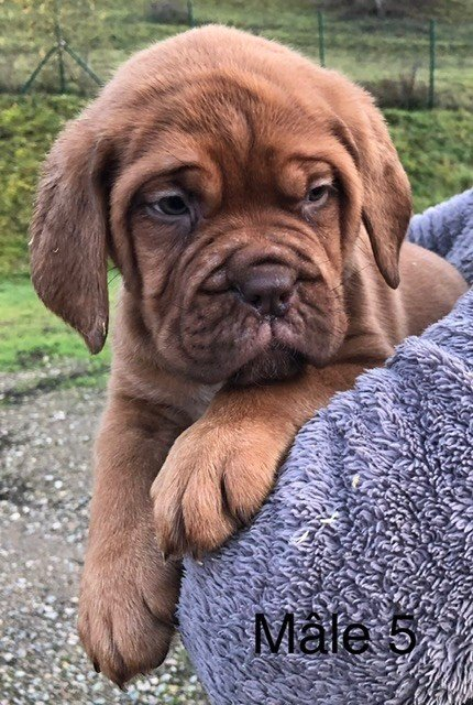 du masque de Seth - Chiot disponible  - Dogue de Bordeaux