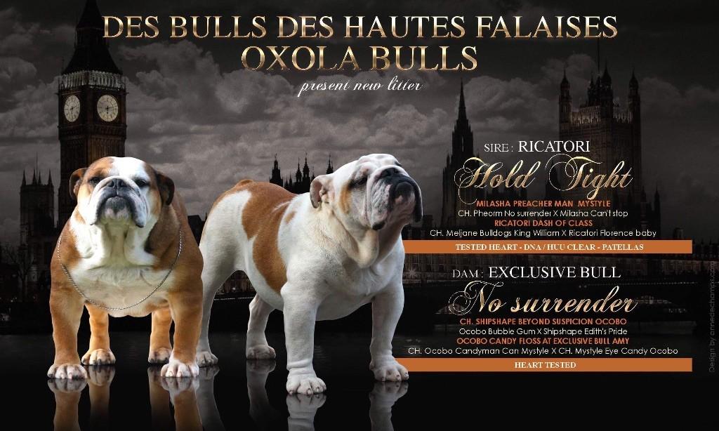 des bulls des hautes falaises - Chiot disponible  - Bulldog Anglais