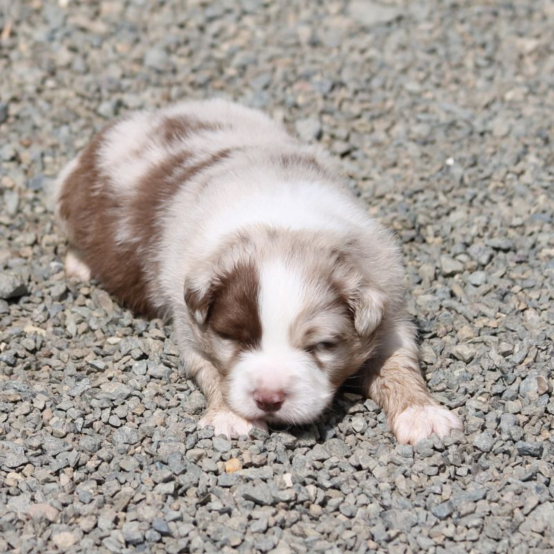 of Cree's River - Chiot disponible  - Berger Australien
