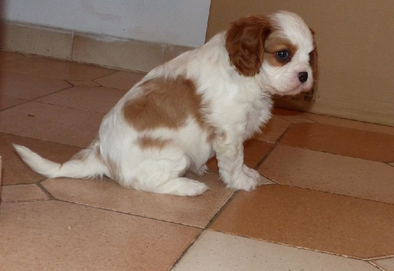 Chiot Cavalier King Charles Spaniel, MISS Tron de l'Air