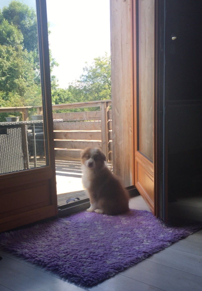 of time of your life - Chiot disponible  - Berger Australien