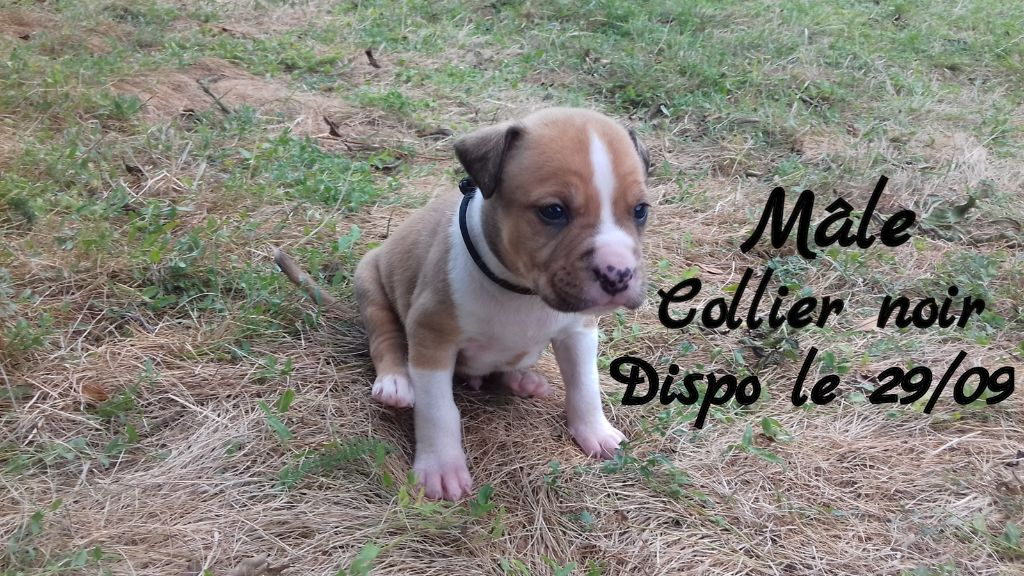 of Atomic Dog - Chiot disponible  - American Staffordshire Terrier
