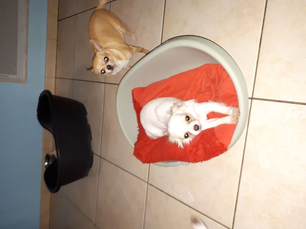 des Jardins Catalans - Chiot disponible  - Chihuahua