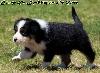 - chiot n°6 femelle noir tricolore queue longue Femelle disponible