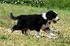 - chiot n°2 mâle noir tricolore queue longue Mâle disponible