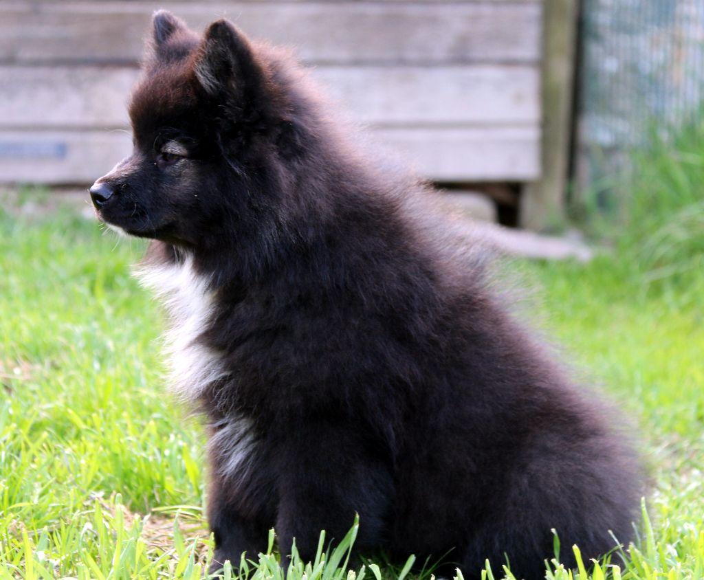 chiot chien finnois de laponie chiot n 4 femelle disponible en pays de la loire 85 vendee. Black Bedroom Furniture Sets. Home Design Ideas