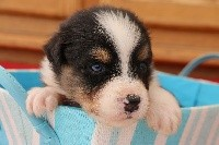 CHIOT gal N°1 MALE