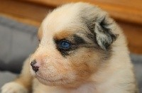 CHIOT Gal N°2 MALE