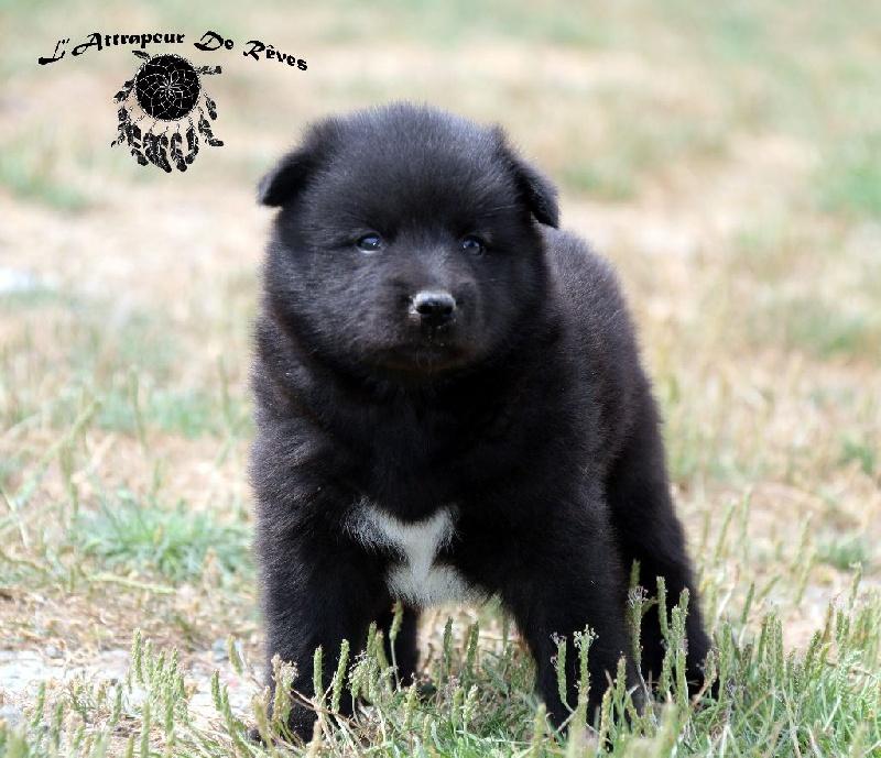chiot chien finnois de laponie chiot n 7 femelle disponible en pays de la loire 85 vendee. Black Bedroom Furniture Sets. Home Design Ideas