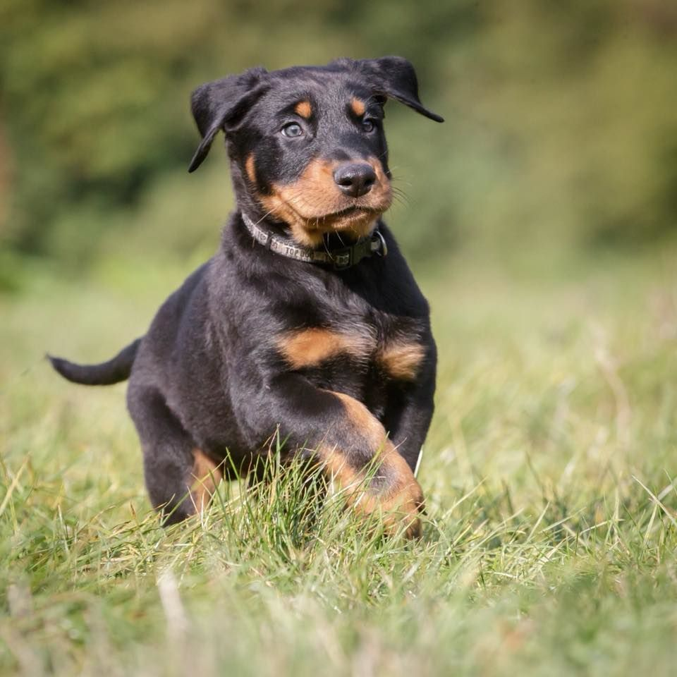 du regard mordant - Chiot disponible  - Berger de Beauce