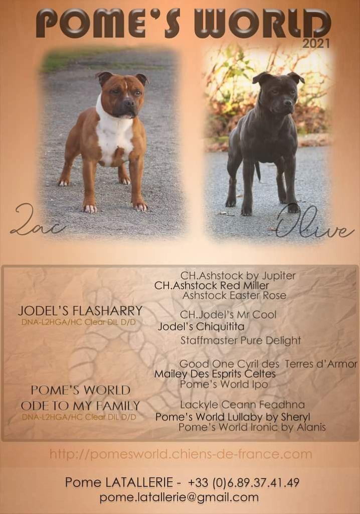Pome's World - Staffordshire Bull Terrier - Portée née le 02/02/2021