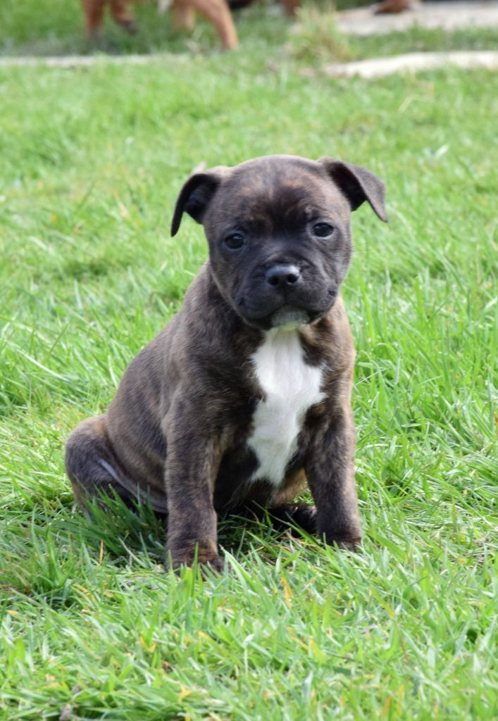 Pome's World - Chiot disponible  - Staffordshire Bull Terrier