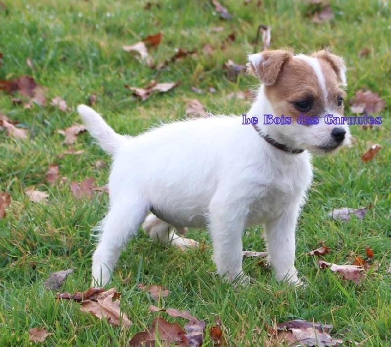Mâle n°2 HAPPY - Jack Russell Terrier