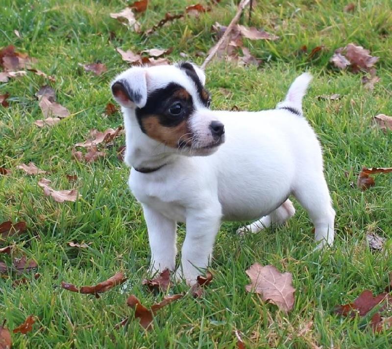 Femelle HARPER - Jack Russell Terrier