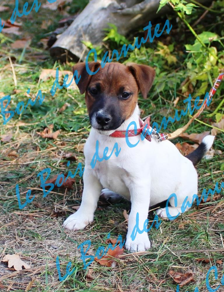 Mâle n°1 JEEP x FLAIR - Jack Russell Terrier