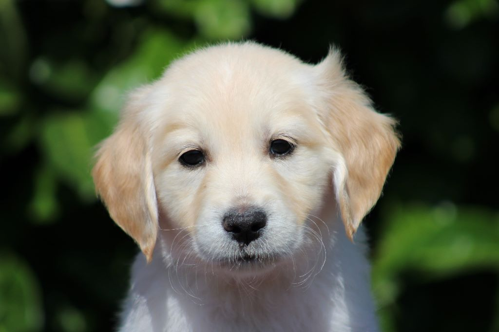 PARADISIO PROSECCO - Golden Retriever