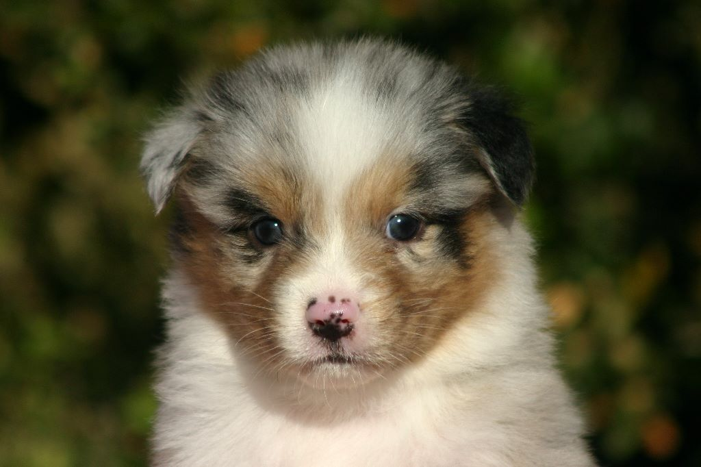 du rocher florin - Chiot disponible  - Berger Australien