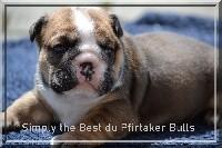 Bulldog Anglais - du Pfirtaker Bulls