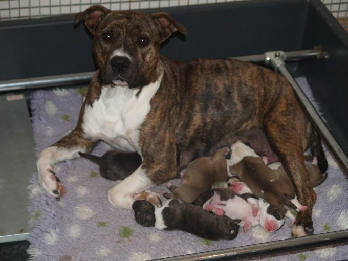 du Parc de Combreux - American Staffordshire Terrier - Portée née le 13/10/2009
