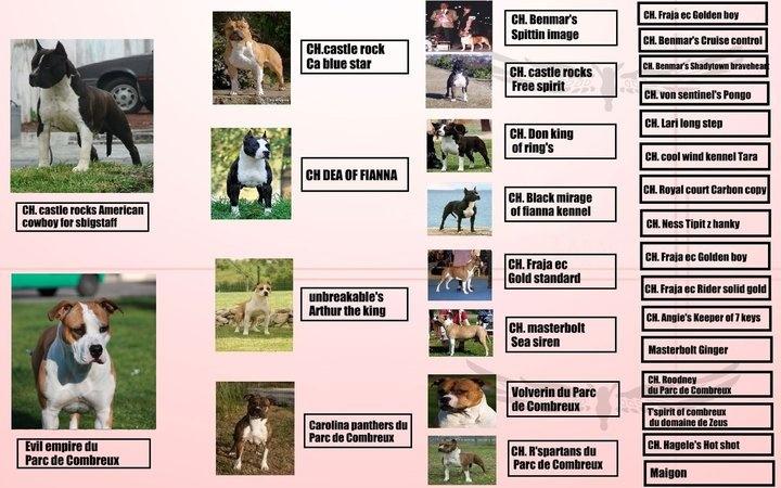 du Parc de Combreux - American Staffordshire Terrier - Portée née le 23/06/2011