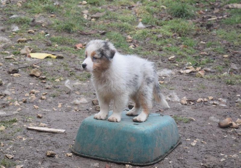 Chiot - Elevage of Piek'Shawi - eleveur de chien Berger