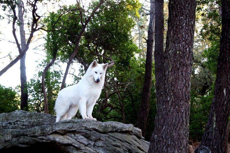 du Loup de la Vieille Eglise - dispo pour saillie  I'lander du loup de la vieille église
