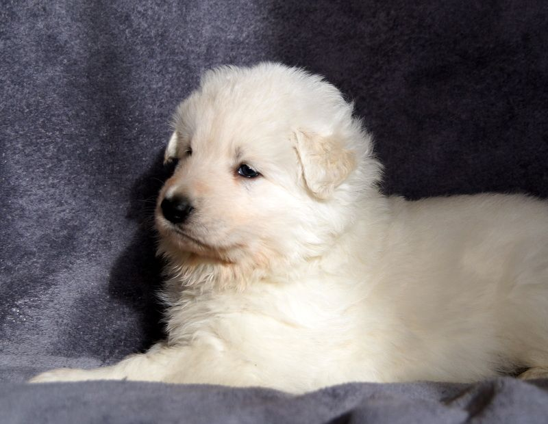 Chiot Collier Rouge - Berger Blanc Suisse