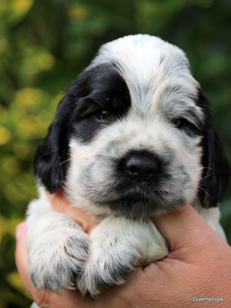 Givemehope - Chiot disponible  - Cocker Spaniel Anglais