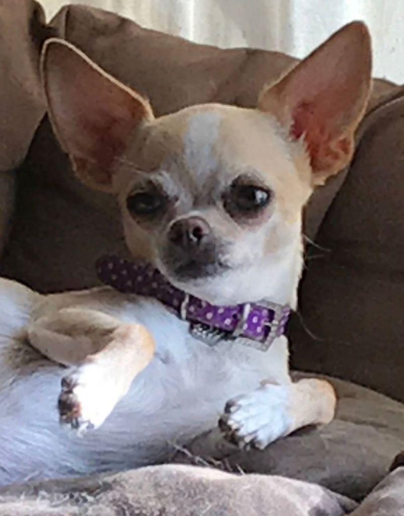 chiot Chihuahua Souvenir Cheyenne