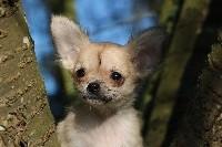Souvenir Cheyenne - Chihuahua - Portée née le 25/12/2018