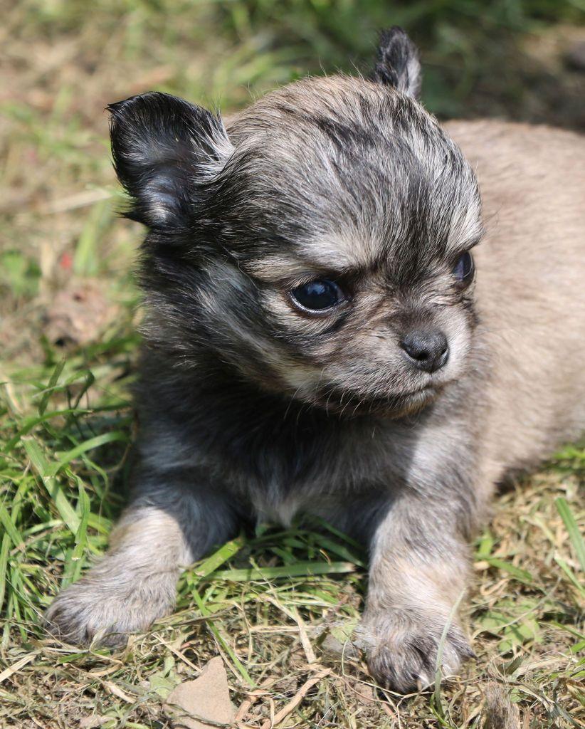 Souvenir Cheyenne - Chiot disponible  - Chihuahua