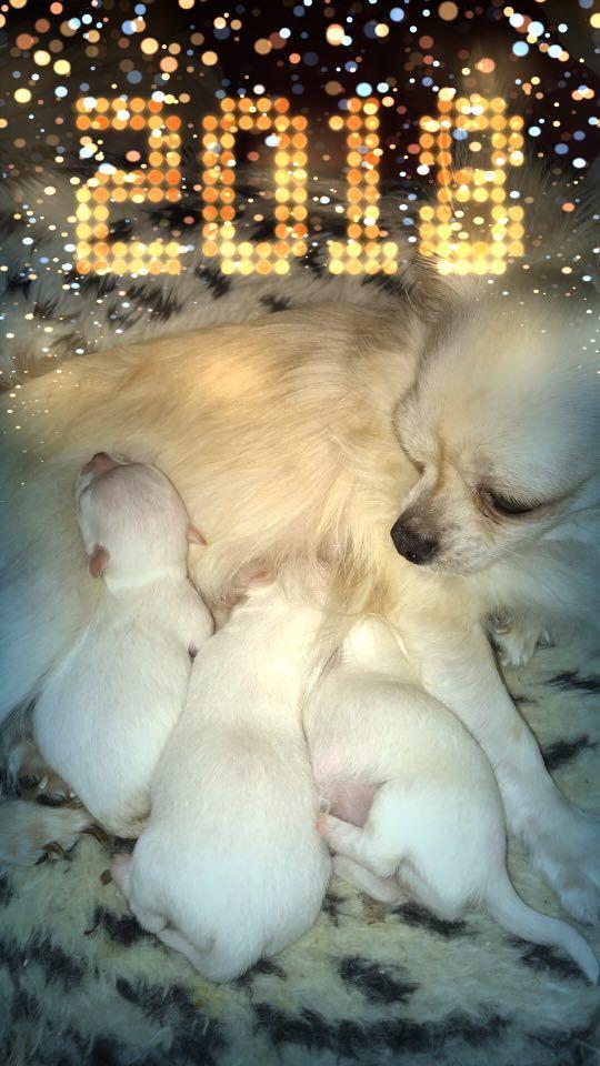 Souvenir Cheyenne - Chihuahua - Portée née le 23/12/2017