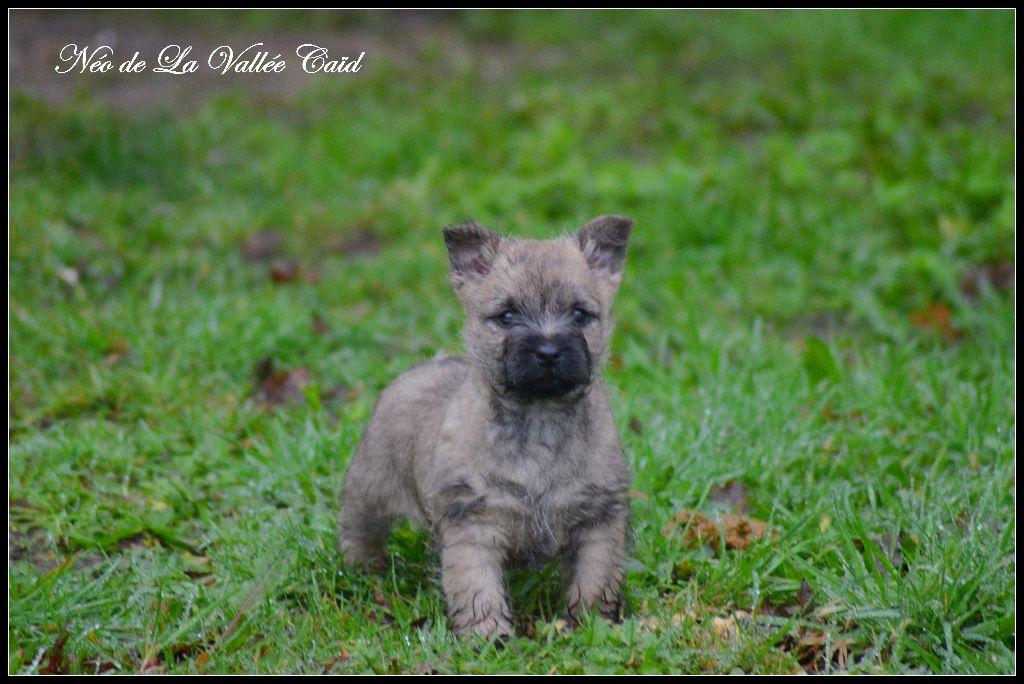 Néo de La Vallée Caid - Cairn Terrier