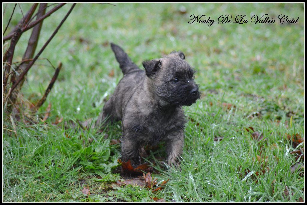 Nouky de La Vallée Caïd - Cairn Terrier