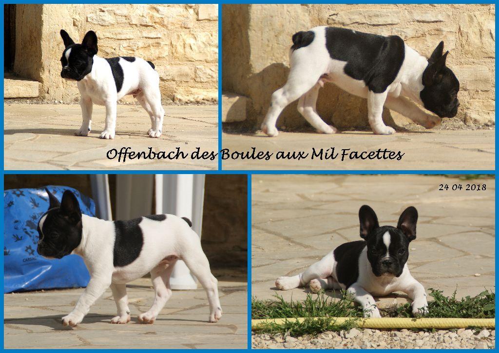 OFFENBACH - Bouledogue français
