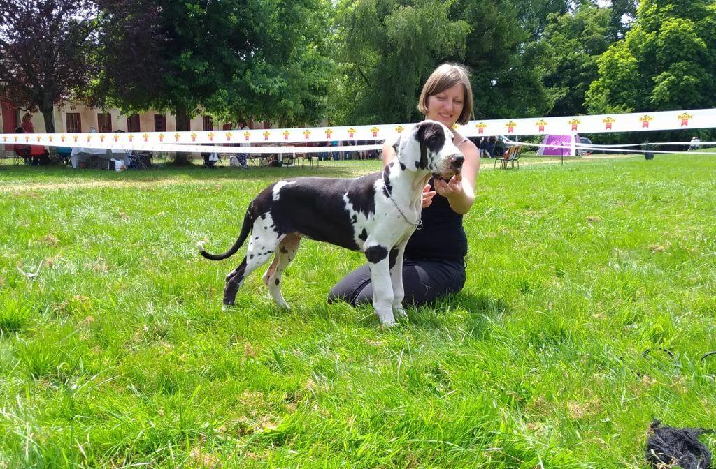 du paradis des géants - Chiot disponible  - Dogue allemand