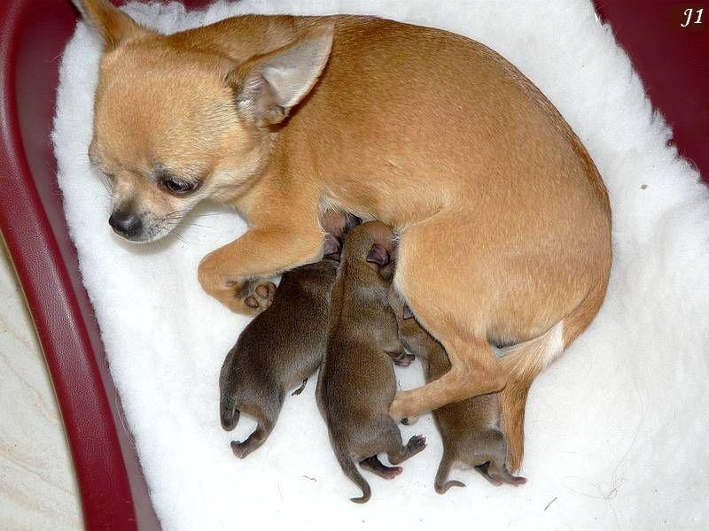 de l'île aux genêts - Chihuahua - Portée née le 21/03/2014