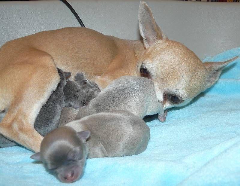 de l'île aux genêts - Chihuahua - Portée née le 08/12/2014