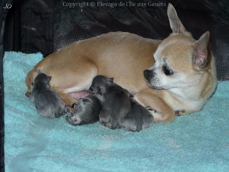 de l'île aux genêts - Chihuahua - Portée née le 21/05/2016