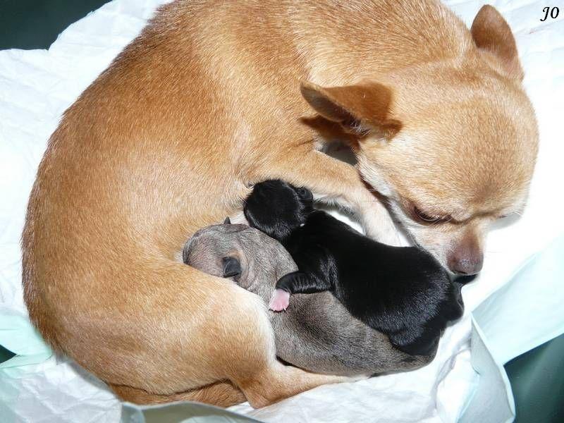 de l'île aux genêts - Chihuahua - Portée née le 23/03/2014