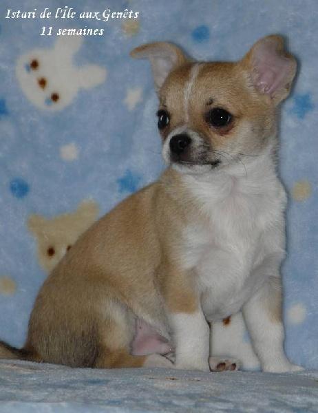 de l'île aux genêts - Chihuahua - Portée née le 23/11/2013