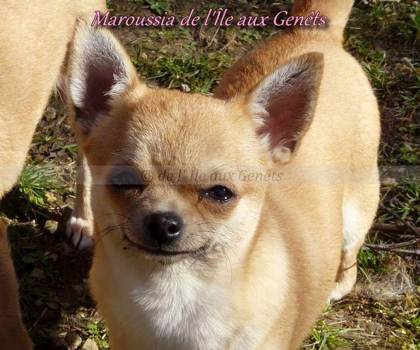chiot Chihuahua de l'île aux genêts