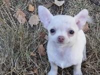 de l'île aux genêts - Chihuahua - Portée née le 15/05/2017