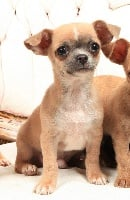 de l'île aux genêts - Chihuahua - Portée née le 08/07/2014