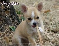 de l'île aux genêts - Chihuahua - Portée née le 16/06/2018