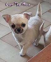 de l'île aux genêts - Chihuahua - Portée née le 01/02/2018