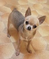 de l'île aux genêts - Chihuahua - Portée née le 19/12/2016